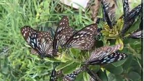 butterflies-invading-the-city-in-droves-from-the-hosur-forest