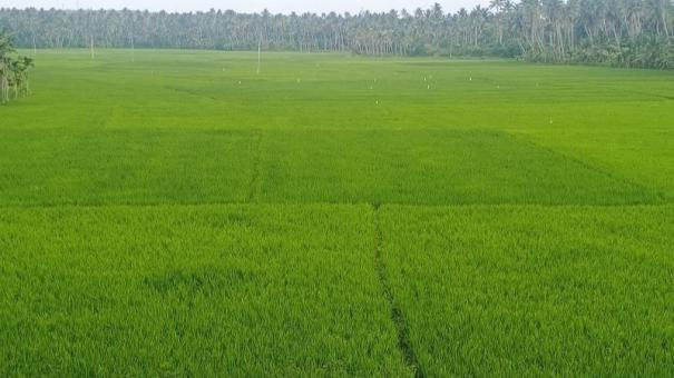 kanyakumari-paddy-farmers-are-happy-as-sw-monsoon-enabled-them-good-yield
