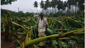 bananas-tilted-by-heavy-rains-coimbatore-farmers-waiting-for-government-relief