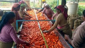 carrot-selected-for-food-processing-scheme-in-nilgiris-district
