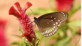 premature-butterfly-migration-to-the-western-ghats-activists-report-for-the-first-time-in-8-years
