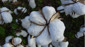 failed-b-t-cotton-international-scientists-warn