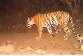 tiger-scare-kills-nilgiris-again-tribal-woman-bitten-to-death