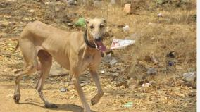 dogs-and-business-rajapalayam-kanni-sippipparai-dogs-are-rarely-available