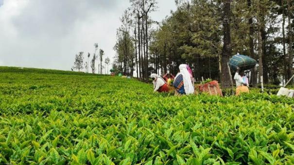 tea-farmers-happy-about-tea-rate