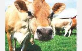 prohibition-of-slaughtering-cows