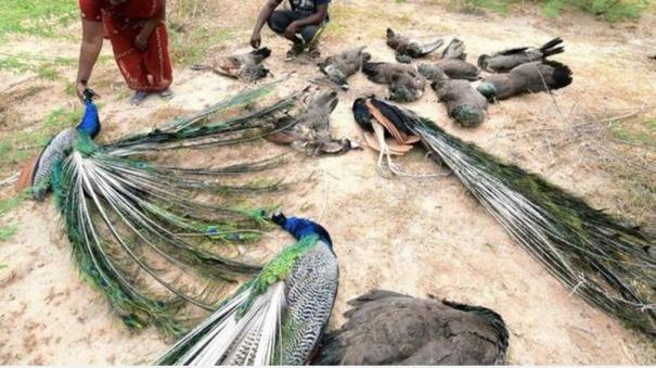 28-peacocks-lying-dead