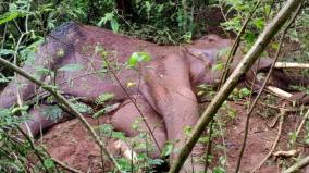 male-elephant-died-in-mettupalayam
