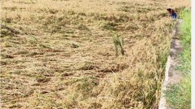 prolonged-heavy-rains-in-kumari-farmers-suffer-from-inability-to-harvest-rain-fed-paddy