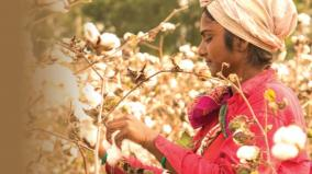 genetically-modified-cotton