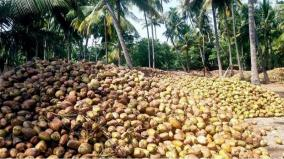 madurai-coconuts-get-good-market-in-north-india