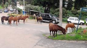 horses-roaming-in-ooty-roads