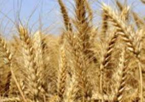 new-wheat-variety