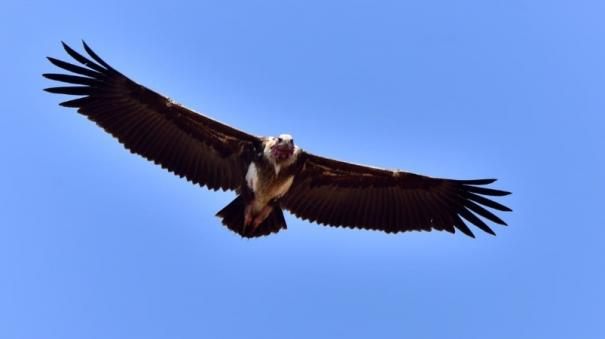 endangered-vultures-danger-to-humans-and-nature-researchers-warn