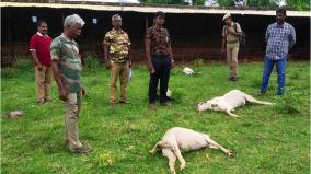 wild-animal-kills-6-goats-forest-officials-search-for-the-predator