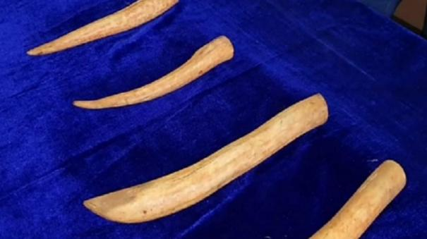 tutucorin-2-arrested-for-smuggling-ivory-tusks