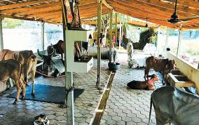 sivanadiyars-who-buy-and-maintain-cows