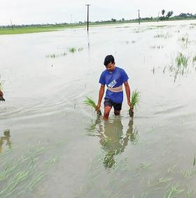 paddy-fields-were-submerged-in-the-flood