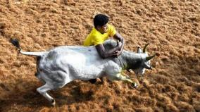will-jallikattu-take-place-southern-district-people-s-expectation