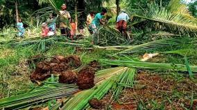 wild-elephants-destroy-coconut-trees