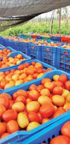 purchase-of-tomatoes