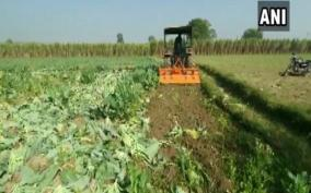 farmer-destroys-cauliflower-crops-over-poor-prices-says-forced-to-sell-produce-at-rs-1-kg