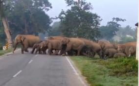 60-elephants-camp-including-10-baby-elephants-in-hosur-reserve-warning-to-villagers