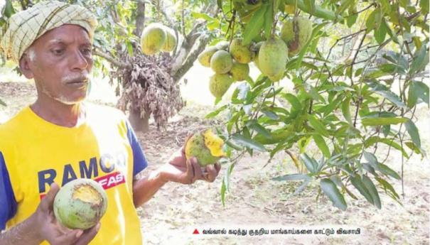 bats-damaging-mangoes