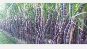 sugarcane-farmers