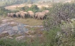 120-elephants-camp-in-two-groups-in-hosur-forest-reserve-forest-department-warns-villagers