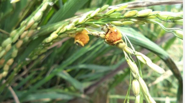 rapidly-spreading-rice-blight-in-tamil-nadu-agricultural-university-warning