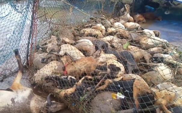 goats-died-in-sankarapuram