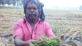 more-than-5-000-acres-of-paddy-crops-affected-in-trichy-district