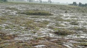 crop-damage-in-1-lakh-acres-in-pudukkottai-district