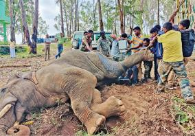 male-elephant-injury