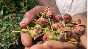 heavy-snowfall-in-hosur-50-impact-on-button-rose-production-farmers-worried