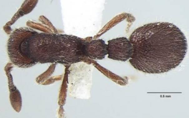 new-ant-species