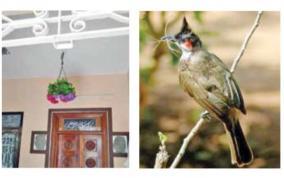 bulbul-thara-bird