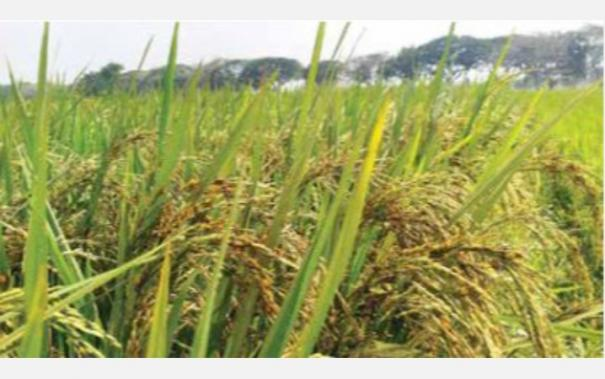 fungal-disease-in-paddy