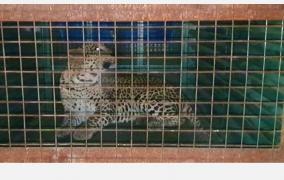 caged-leopard-near-madukkarai-coimbatore