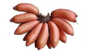 red-plantain