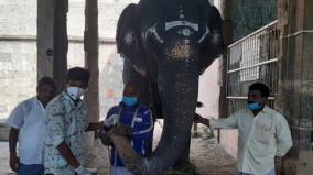 corona-test-done-for-nellaiyappar-temple-elephant