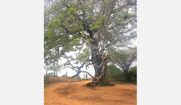 iluppai-tree