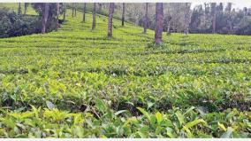 tea-cultivation