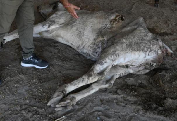 71-kg-of-waste-found-in-stomach-of-stray-faridabad-cow