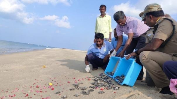turtle-eggs-being-saved