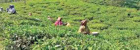 tea-estate