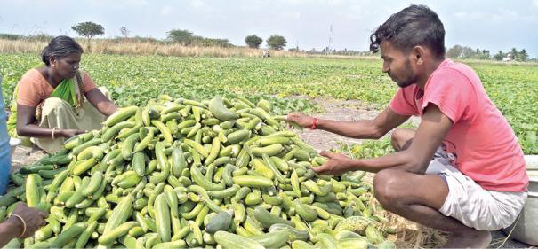cucumber-yield