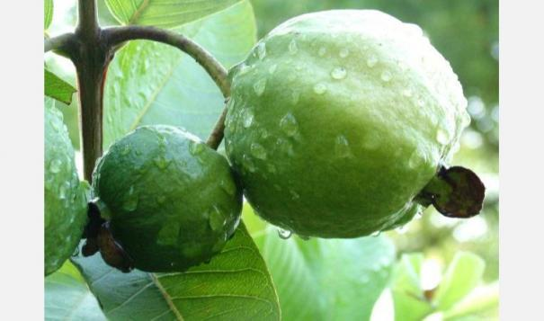 guava-tree