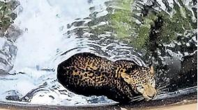 cheetah-rescued-from-well